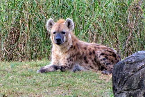 IMG_7175_Hyena