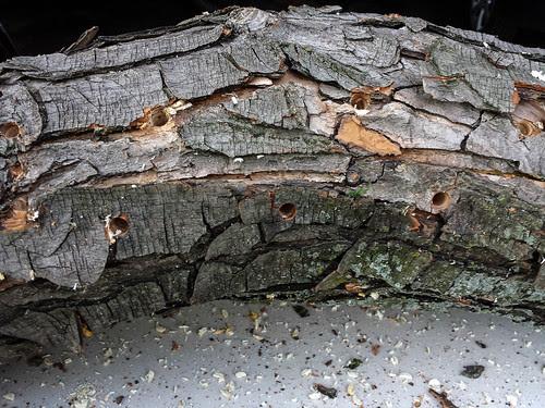 Inoculating Logs for Mushrooms