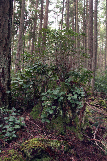 IMG_3579 Whidbey forest undergrowth