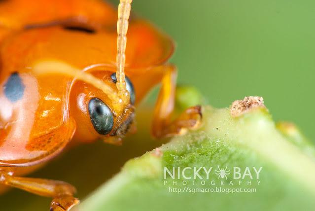 Tortoise Beetle (Hispinae) - DSC_2114
