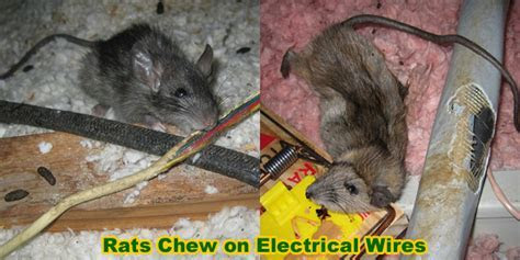 Rat Damage To Home, Electrical Wires, Pipes, Eaves, Car   What Can Rodents Destroy?