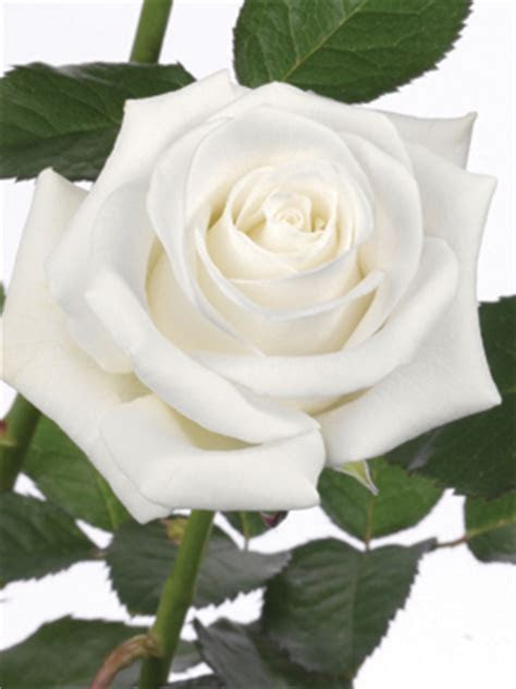 Rose White Akito   uBloom