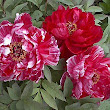 Chinese Tree Peony – A Wholesome Beauty | Natural Skin Rx