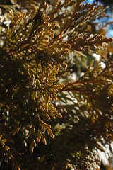 Arborvitae Foliage, Winter, Woodfield Inn