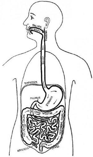 Aparato Digestivo Artículo De La Enciclopedia