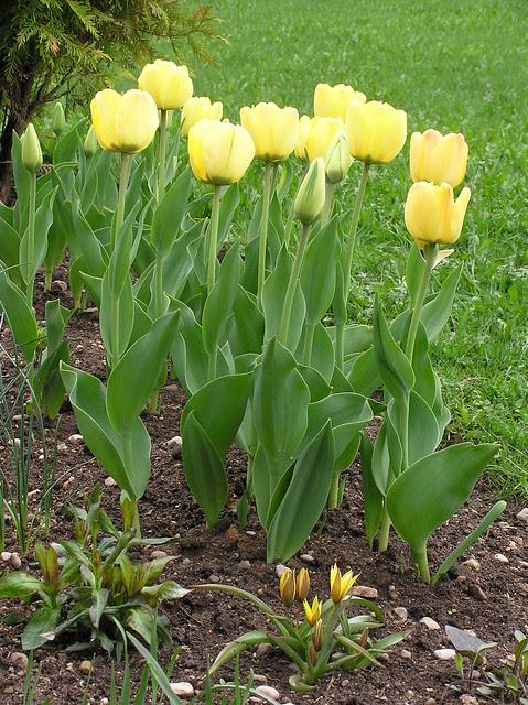 Tulipa 'Daydream' & Tulipa urumiensis