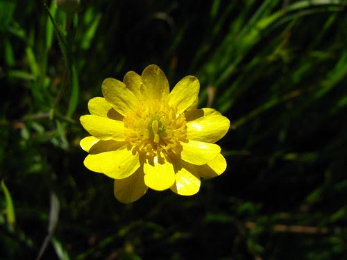 Ranunculus californica