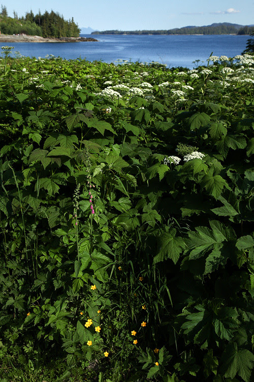 wild celery and more on the Olsen property, Kasaan, Alaska