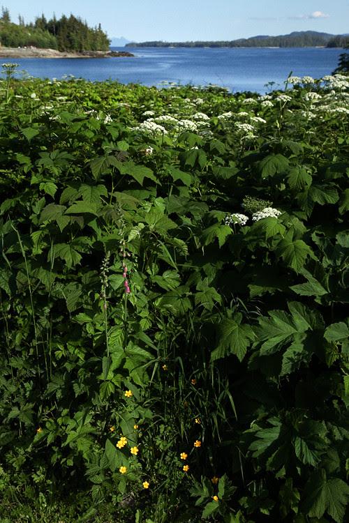 wild celery and more on the Olsen property, Kasaan, Alaska