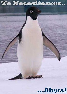 Informacion Sobre Los Pinguinos Pinguinopedia