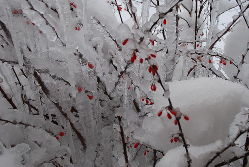 Barberry bushes in winter