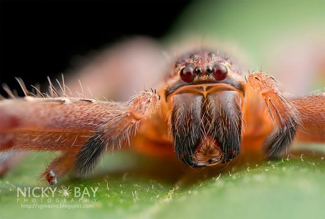 Huntsman Spider (Sparassidae) - DSC_2158