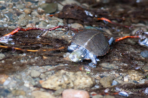 Our Baby Painted Turtle (Chrysemys picta)-23.jpg