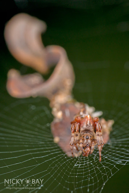 Orb Weaver Spider (Cyclosa insulana) - DSC_9569