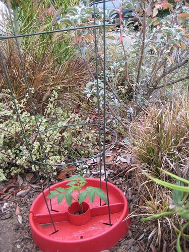 tomato among drought-tolerant plants