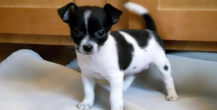 Jack Russell Chihuahua Mix Puppies Black And White