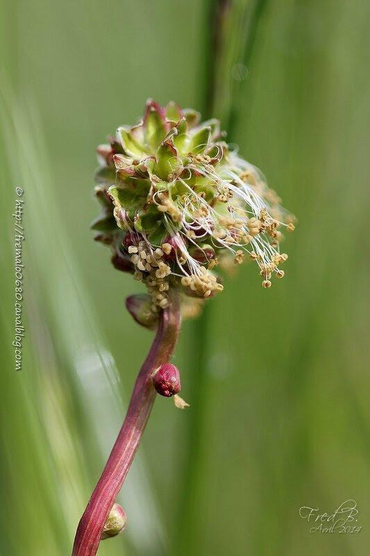 sur le haut de l'image fleurs mâles, en dessous on devine les pistils rouges de fleurs hermaphrodites de Sanguisorba minor