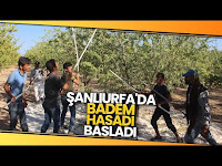 Şanlıurfa Bademi Adıyaman Bademine Rakip Oluyor - İhlas Haber Ajansı