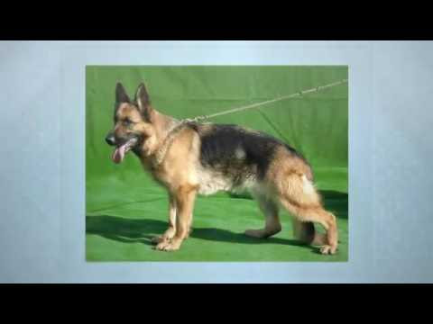 Marysville German Shepherd Breeder - Safeshare.TV