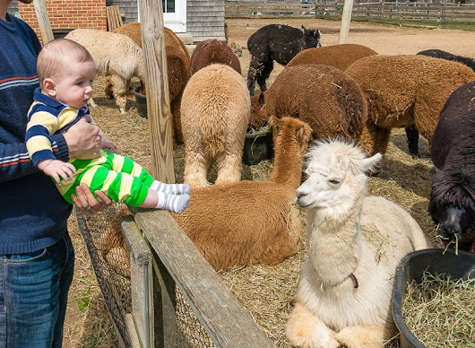 "The Most Fun Thing on Martha's Vineyard: Alpaca Farm!  | Around the World ""L"""