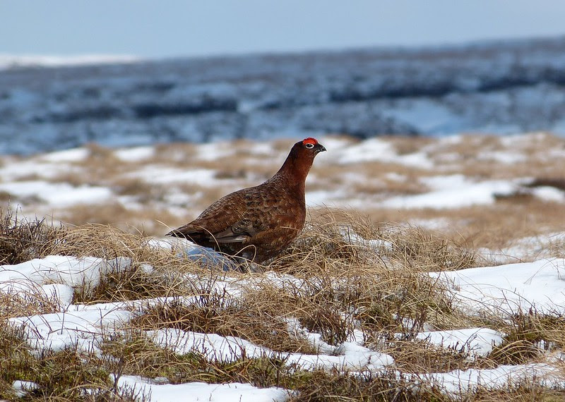 P1040215_2 - Red Grouse, Bleaklow