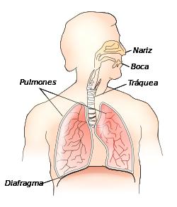 Respiratory system-es.svg