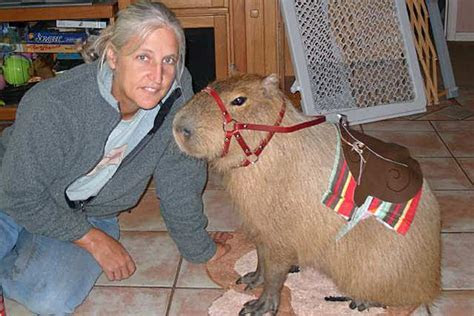 Caplin Rous, the world's most famous capybara, is an ambassador for giant rodents everywhere   L