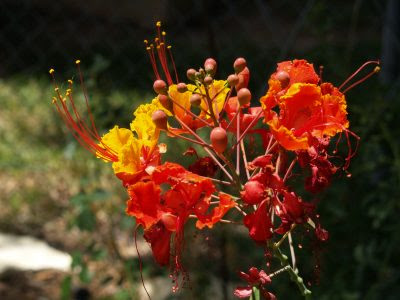 Pride Of Barbados Central Texas Gardener