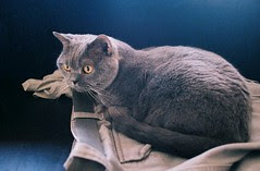 SKY - a British Shorthair Cat living with Ken and Helmi Flick