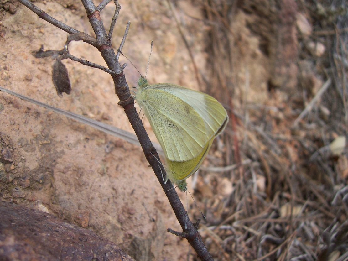 Photo de papillons : accouplement de piérides