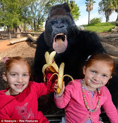 Motaba the Gorilla tries to eat a banana from six-year-old Ella O'Brien and four-year-old Bridget O'Brien at Werribee Open Range Zoo in Melbourne, Australia