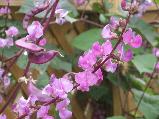 Purple Hyacinth Bean Care – How To Grow A Hyacinth Bean Vine