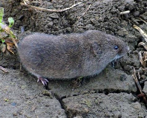 Savvy Housekeeping » How To Remove Voles From Your Garden