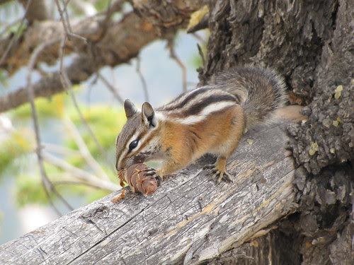 IMG_3642_Chipmunk_at_Bryce_Canyon