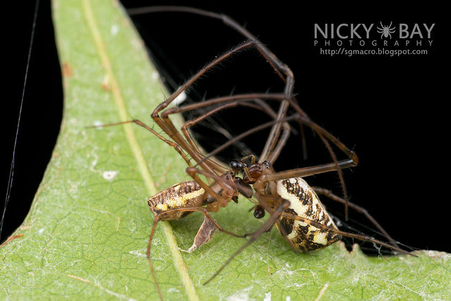 Big-Jawed Spiders (Tetragnathidae) - DSC_7238