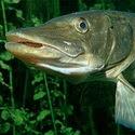 Календарь рыболова на апрель 2016, календарь рыбака апрель 2016, календарь клева рыбы апрель 2016, клев рыбы в апреле, лунный календарь рыболова на апрель 2016, какая рыба клюет в апреле, ловля щуки в апреле, ловля окуня в апреле, ловля налима в апреле, ловля судака в апреле, ловля рыбы в апреле, как ловить рыбу в апреле, рыбалка в апреле, лунный календарь клева в апреле
