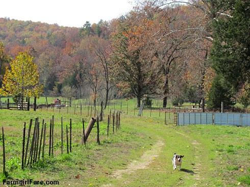(24-2) Beagle Bert on the run by the barn - FarmgirlFare.com