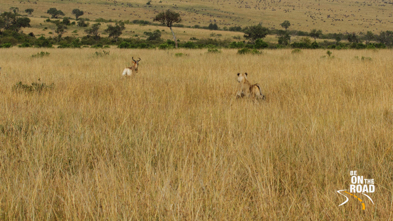 Lionees chases a Coke's Hartebeest, but the chase ends unsuccessful