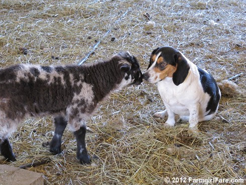Bert gets a lamb kiss 3 - FarmgirlFare.com