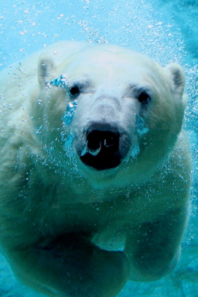 Polar Bear iPhone Wallpaper HD
