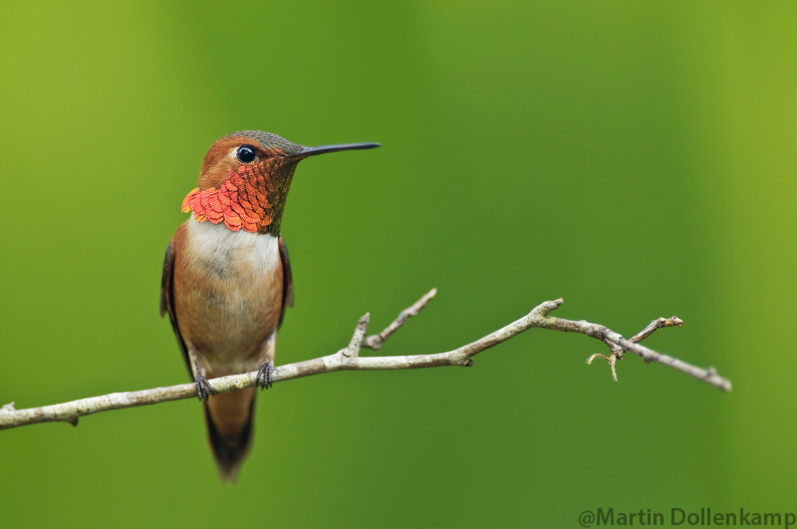 Rufous Hummingbird perched on a small branch