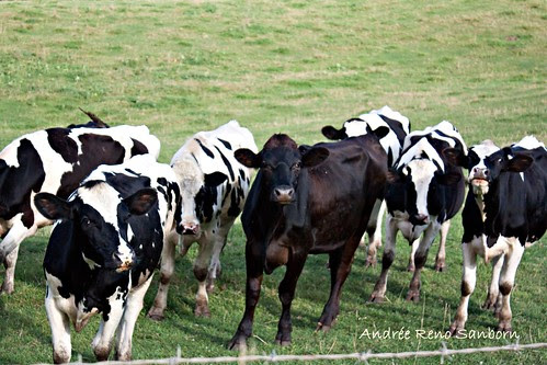 A Herd of Cows in Lyndonville-20.jpg