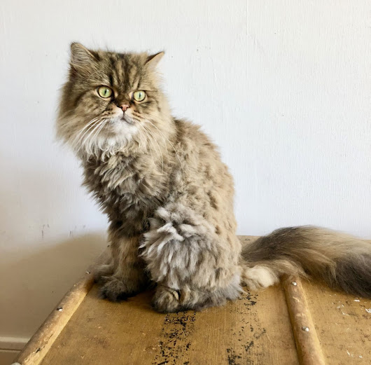 Cat Haircut at Home or the Groomers? | Meow Lifestyle