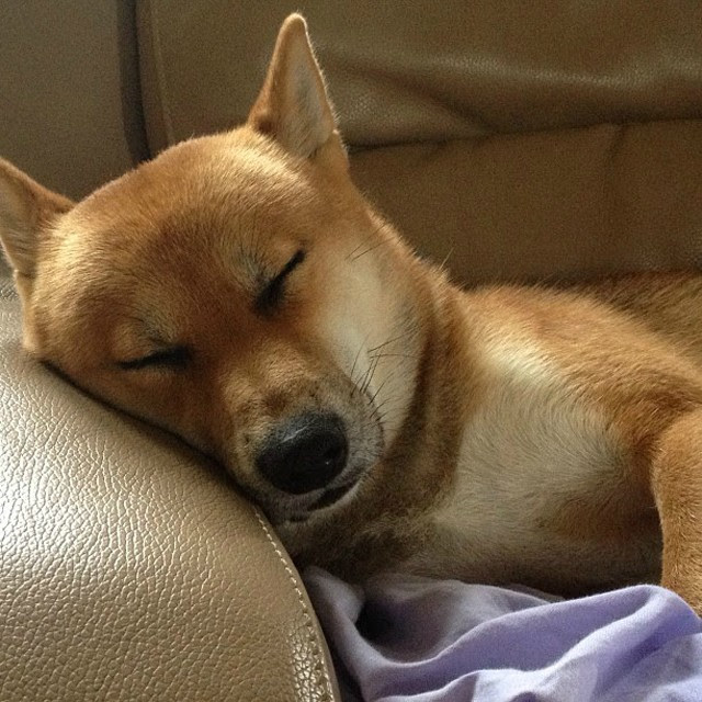 indy shiba inu cute sleeping sleep goodnight adorable fashion blogger belgium