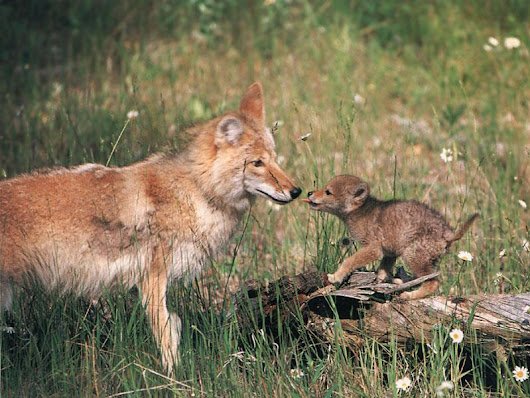 The lecture on Coywolves last night.