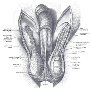 The scrotum.