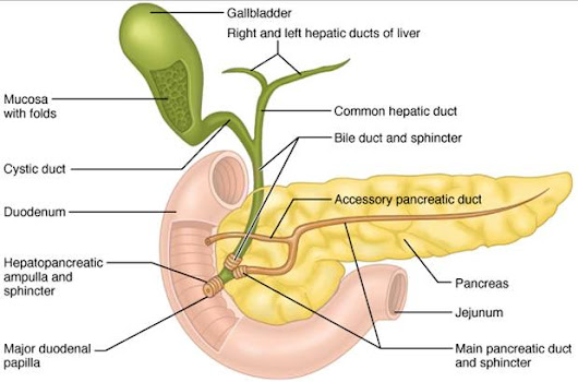 Learn More About Pancreas