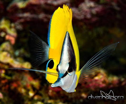 Long-nose butterflyfish