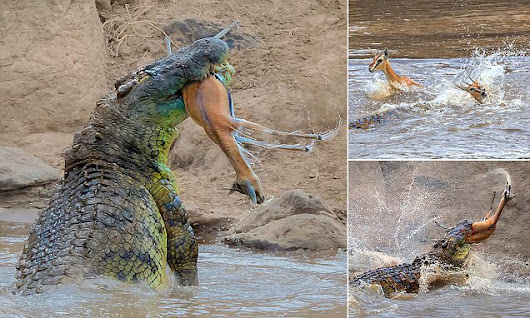 Giant 16ft crocodile sneaks up on gazelle before ripping it in HALF