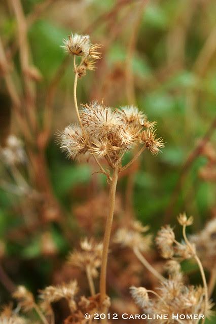 Gregg's mistflower seedheads